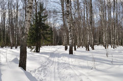 Ski track in winter birch forest Stock Images