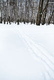 Ski tracks on the edge of birch forest Stock Photography