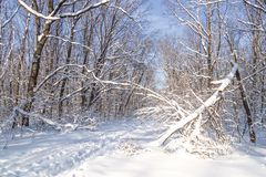 Ski tracks in a sunny snowy winter forest, snowdrifts, snow on tree branches, broken by hurricane tree in the foreground Stock Images