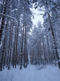 Ski walk in the winter woods Royalty Free Stock Photos