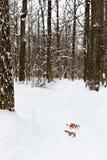 Skidar den inkörda snöig skogen Royaltyfria Bilder