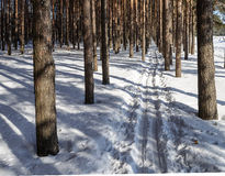 Skidar spåret i pinjeskog Fotografering för Bildbyråer