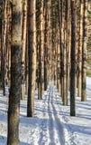 Skidar spåret i pinjeskog Arkivfoton
