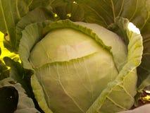 Skidfrukt för grön kål Fotografering för Bildbyråer