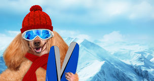 Skier dog wearing sunglasses relaxing in the mountain . Royalty Free Stock Photo