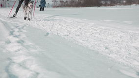 Skier in harness with sled dog stock footage