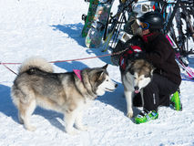 Skier pets rescue dogs at Afton Alps ski field Royalty Free Stock Photography