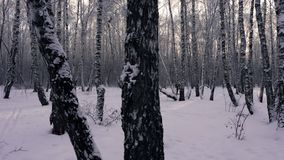 Skier at winter landscape. Walk in winter woods. Snow world. The track for cross-country skiing. The snowy forest. The stock video footage