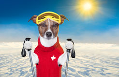 Skiing dog. Snow skiing dog with red wool sweater royalty free stock photo