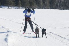 Skiing with dogs. This little known winter sport is called skijoring taken in warren ontario Royalty Free Stock Images