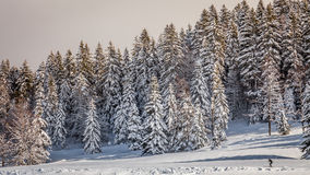 Firs under the snow Royalty Free Stock Image