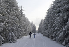 Skiing in a snowy winter forest. A few people skiing in a snowy winter forest; fir trees form a corridor; the ground is covered by white snow blanket Stock Image