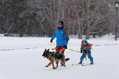 Skijoring在俄罗斯 伏尔加河搜寻拉雪橇狗赛跑2015年 免版税图库摄影