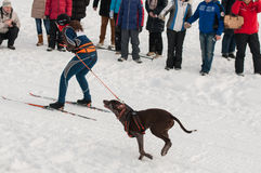 Skijoring stockfotografie