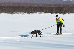 Skijoring - competition for Cup of Kamchatka Peninsula Stock Photos