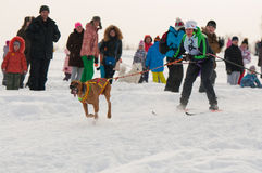 Skijoring. Competitions skijoring with a dog Royalty Free Stock Images