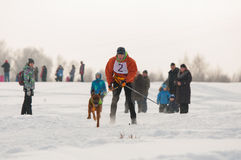 Skijoring. Competitions skijoring with a dog Stock Image
