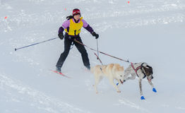Skijoring-Konkurrent gezogen durch zwei Hunde Stockbild