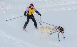 Skijoring konkurrent som dras av två hundkapplöpning Fotografering för Bildbyråer