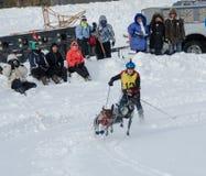 Skijoring konkurrent som dras av två hundkapplöpning Royaltyfri Fotografi