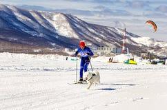 Skijoring man skiing runs with dog  in harness. Royalty Free Stock Photo