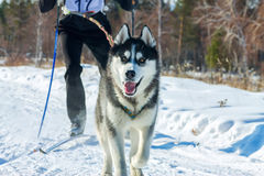 Skijoring man skiing runs with Husky in harness Stock Photo