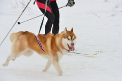 Skijoring. Monastyrshchino, Tula region, Russia - February 9, 2014: Competitors during the skijoring racing of Grand tour Kulikovo Pole. This annual racing Stock Image