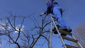 Skilled gardener guy pruning apple tree twigs with scissors standing on ladder. Skilled gardener guy pruning apple tree twigs with scissors standing on high stock video footage