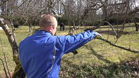 Skilled man pruning dwarf fruit tree twigs branches on blue sky. Hand shot stock video