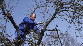 Skilled man pruning fruit tree twigs standing on high tree branches on blue sky stock video footage