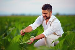 Skilled plantation owner checks tobacco leaves on farmland Stock Images