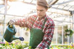 Skilled young man watering houseplants while working as florist. Skilled handsome young man watering with care and patience potted yellow houseplants while Stock Photo