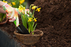 Skillful female gardener is working in greenhouse. Close up of hands of young florist planting the narcissus in the garden nursery Royalty Free Stock Photos