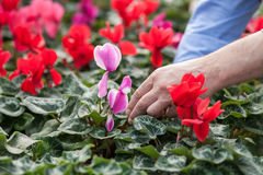 Skillful old garden worker at plant nursery Stock Image