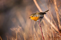 Skillful robin bird on the branch.  Royalty Free Stock Image