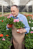 Skillful senior gardener is working in plant Royalty Free Stock Images