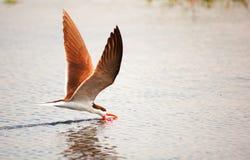 Skimmer africano (flavirostris do Rynchops) Foto de Stock
