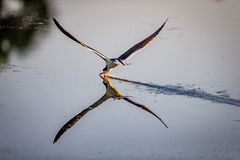 Skimmer with beak in water fishing. At dawn by scooping up food l Royalty Free Stock Images
