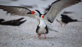 Skimmer Coupling. In Skimmer nesting colony on Indian Rocks Beach royalty free stock photos