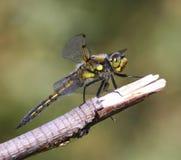 Skimmer Dragonfly Stock Photo