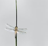 Skimmer Dragonfly. A four-spotted skimmer dragonfly resting on a piece of grass with a gray background royalty free stock image