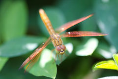A skimmer dragonfly Royalty Free Stock Photo