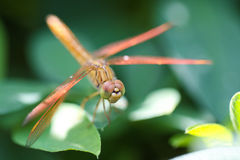A skimmer dragonfly Stock Image
