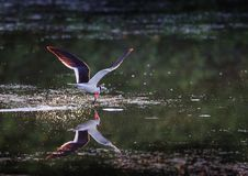 Skimmer fishing with beak in the water. At dawn Royalty Free Stock Photography