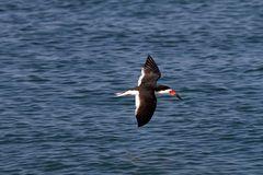 Skimmer In Flight Royalty Free Stock Images