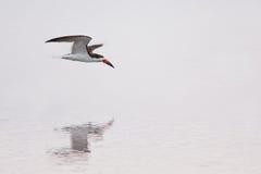 Skimmer skimming at Chincoteague Island, Va. Royalty Free Stock Photography