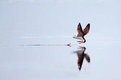 Skimmer skimming at Chincoteague Island, Va. Stock Photography