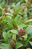 Skimmia Royalty Free Stock Images