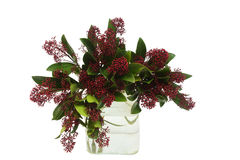 Skimmia Royalty Free Stock Image