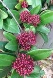 Skimmia Japonica风疹灌木的褐红的莓果 免版税库存图片